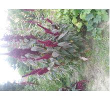 Znáte přínosy amarantu?