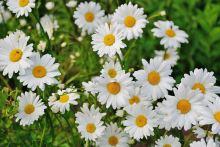 AWA herbs Kopretina řimbaba nať 50g