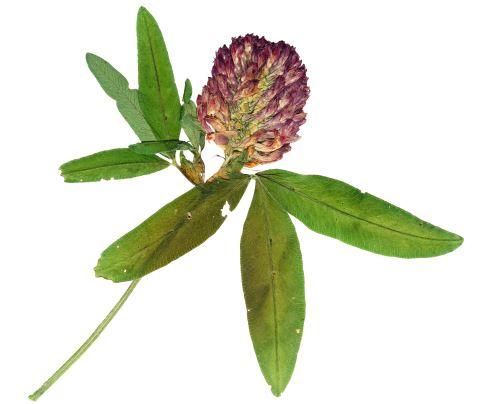 AWA herbs Jetel luční květ 60g