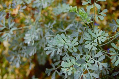 AWA herbs Routa nať 100g
