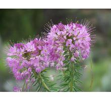 AWA herbs Vrbovka malokvetá vňať 50g