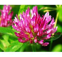 AWA herbs Jetel luční květ 30g