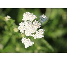 AWA herbs Řebříček obecný květ 50g