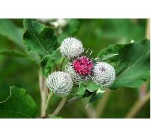 AWA herbs Lopuch větší koreň 100g