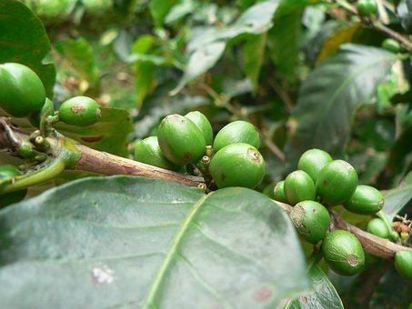Zelená káva na hubnutí?